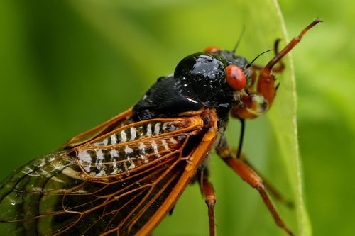 This is a periodical cicada. This is probably what you think of when someone says cicada.
