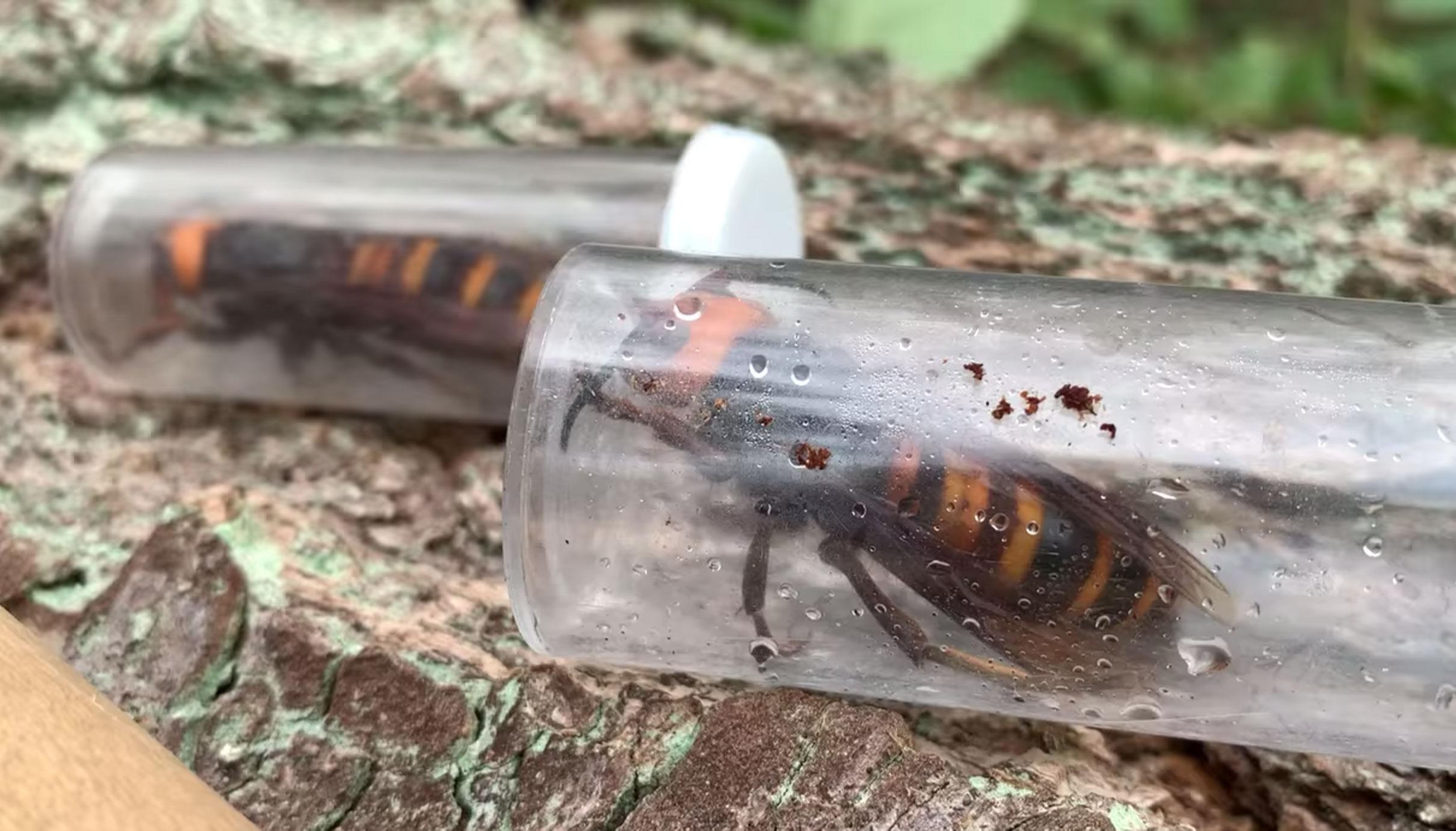 Scientists captured 2 'murder hornet' queens in Washington State