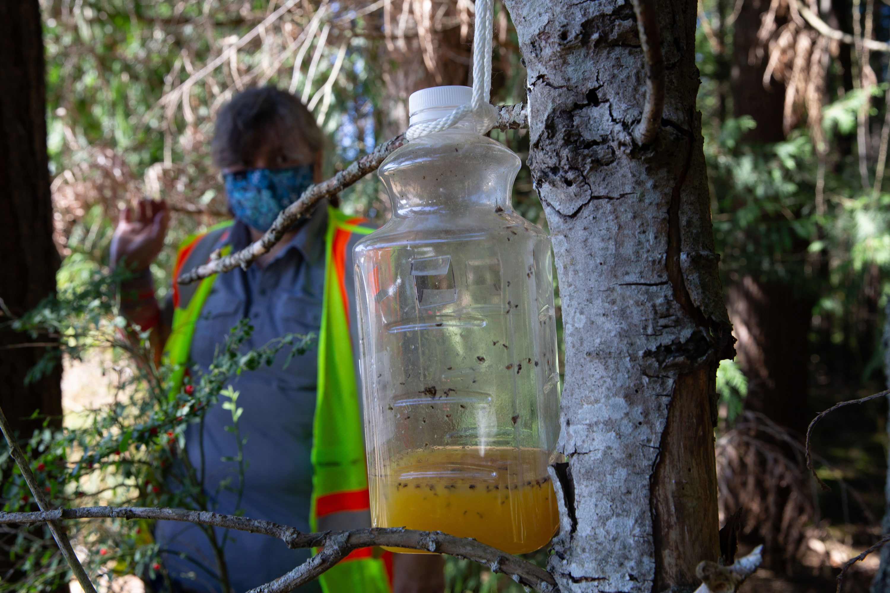 Washington state will be taking down its 'murder hornet' traps for the winter