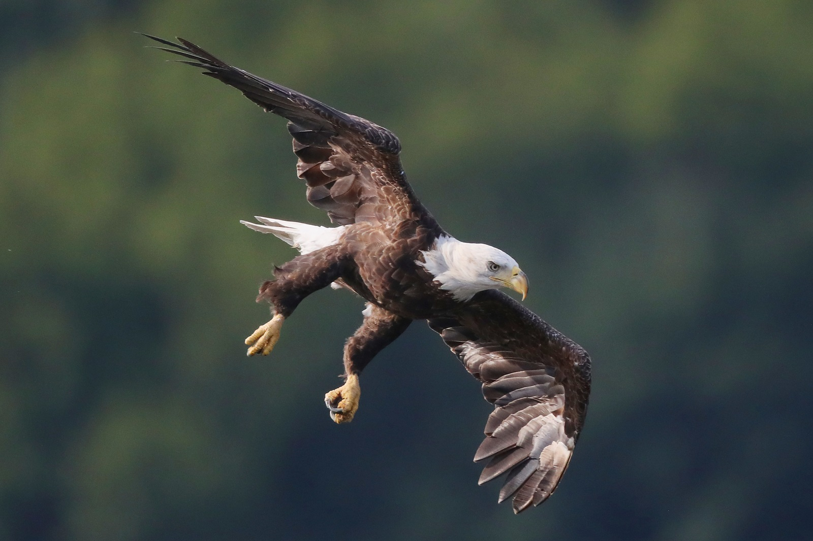 Massachusetts sees 'dramatic uptick' in eagle nests including first on Cape Cod in 115 years