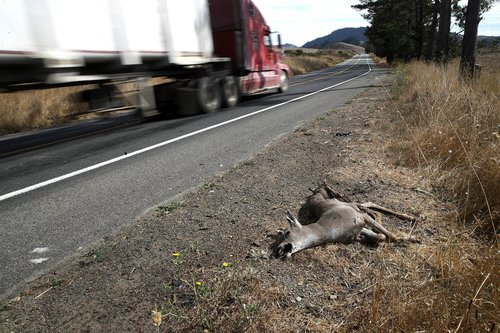 Image for Some Californians may soon be able to eat their roadkill. That's already legal in more than 20 US states