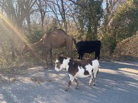 Christmas comes early for a camel, a cow, and a donkey found lost on a Kansas road
