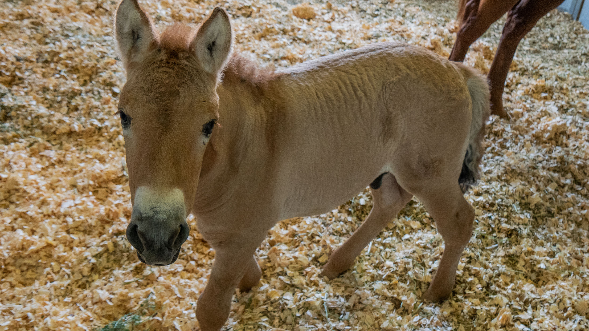 A clone of the endangered Przewalski's horse is born of DNA saved for 40 years