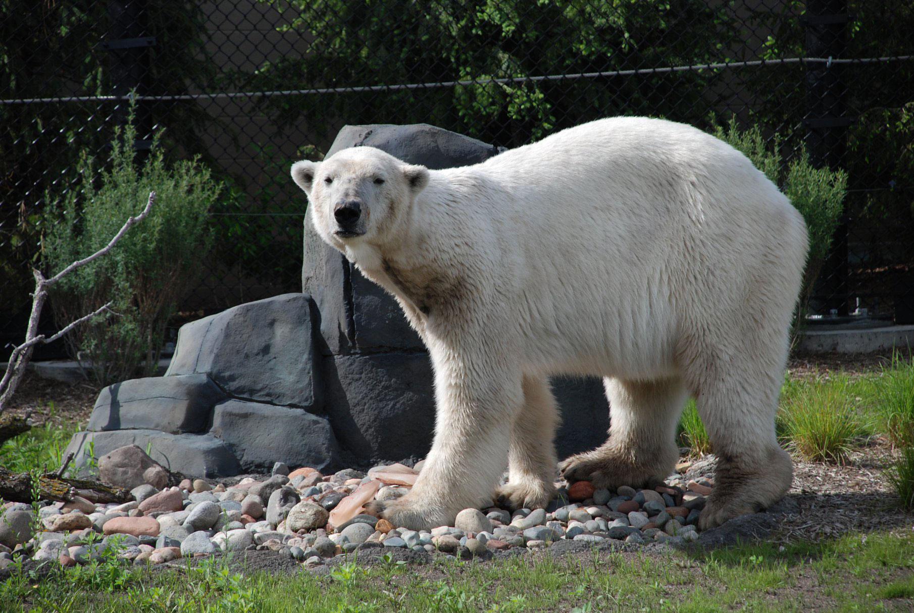 Buzz the polar bear dies at age 24 at Minnesota's Como Park Zoo