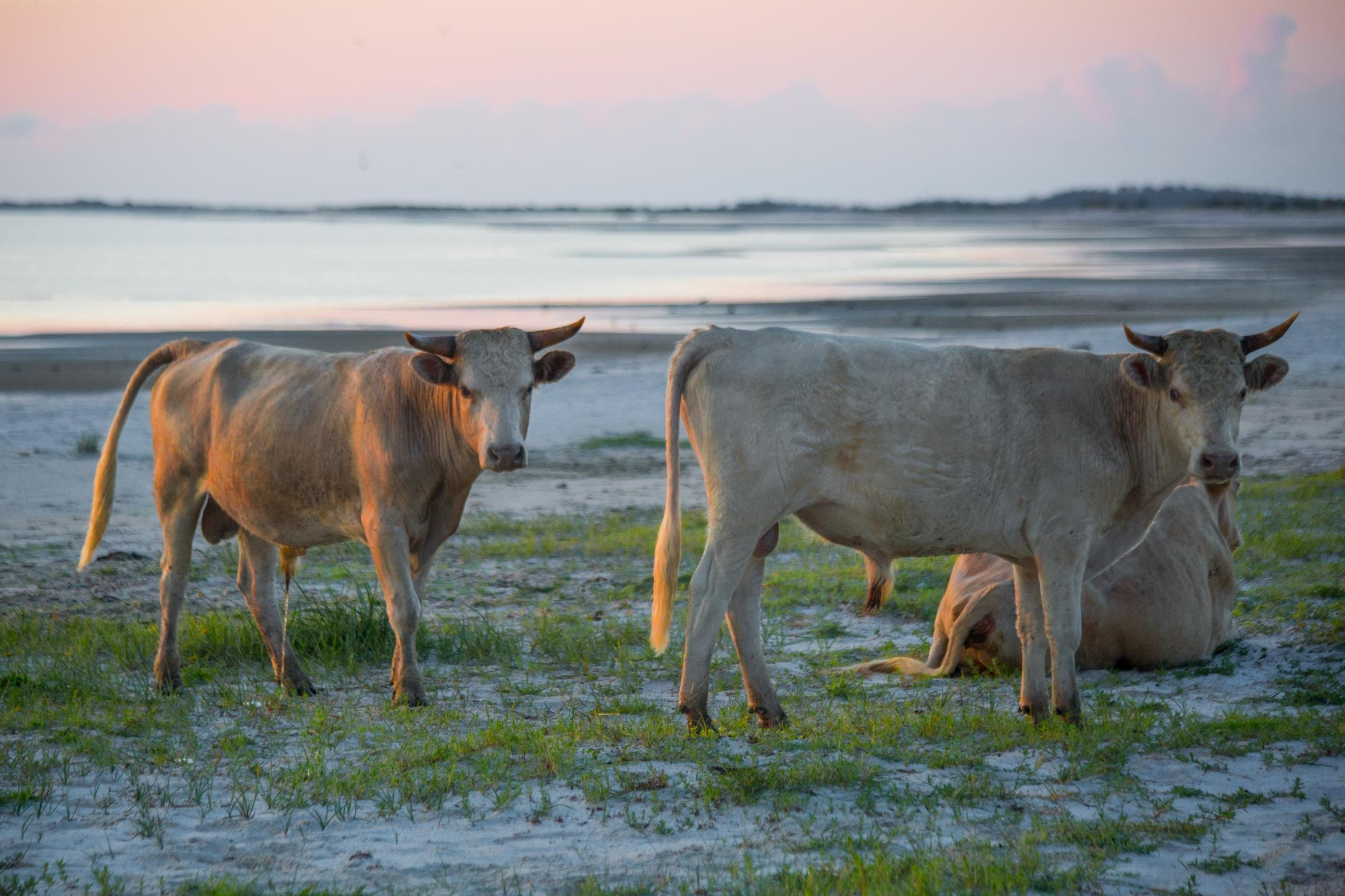 Cows swept away by floodwaters during Hurricane Dorian were found alive four miles away on an island