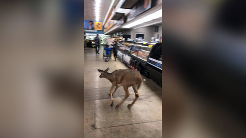 Image for A deer bolts through a supermarket in Indiana