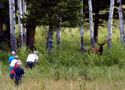 Image for Yellowstone warns visitors not to get mixed up in elk mating season