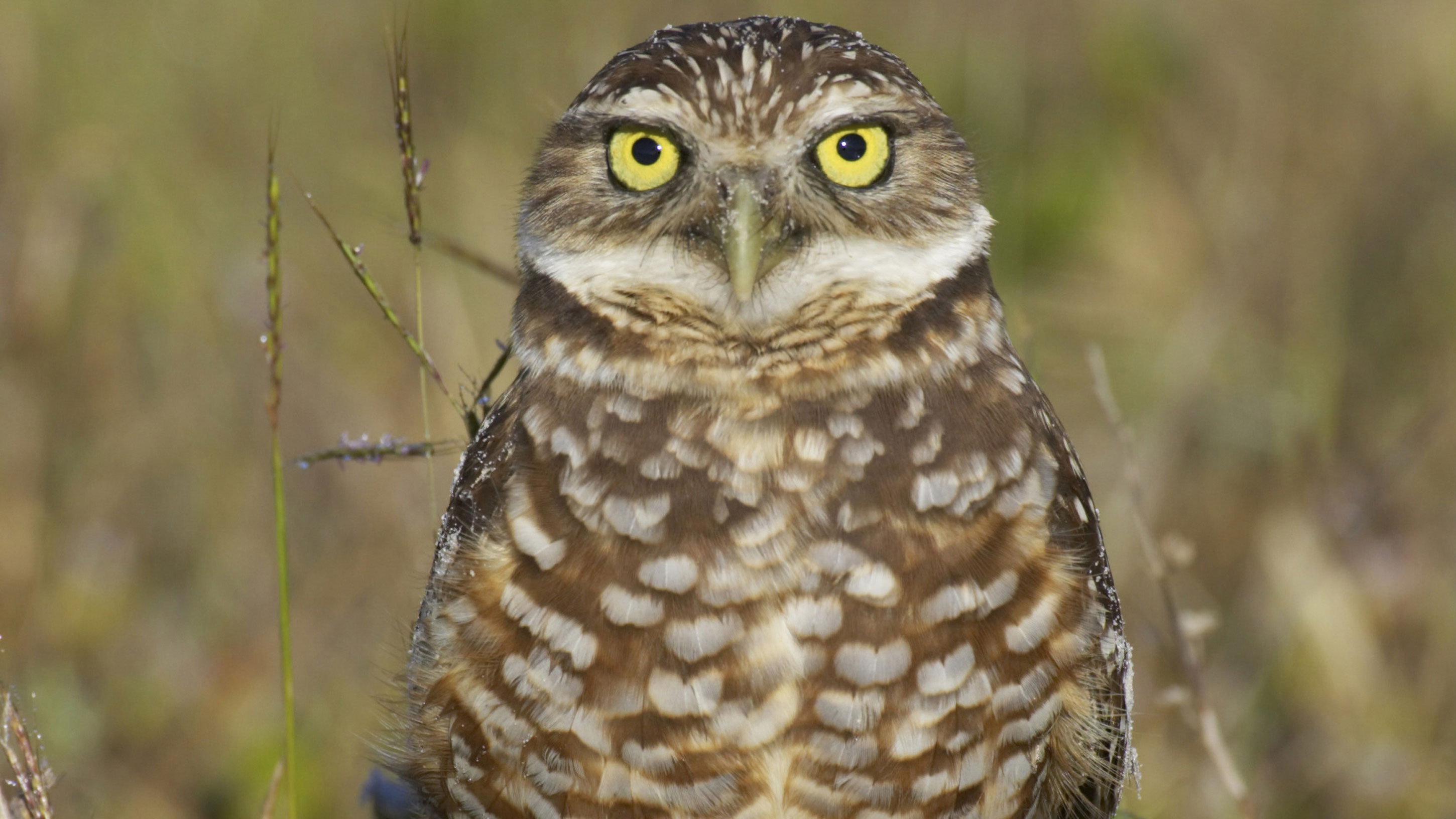An island in Florida is paying residents to let a special owl burrow in their front yard