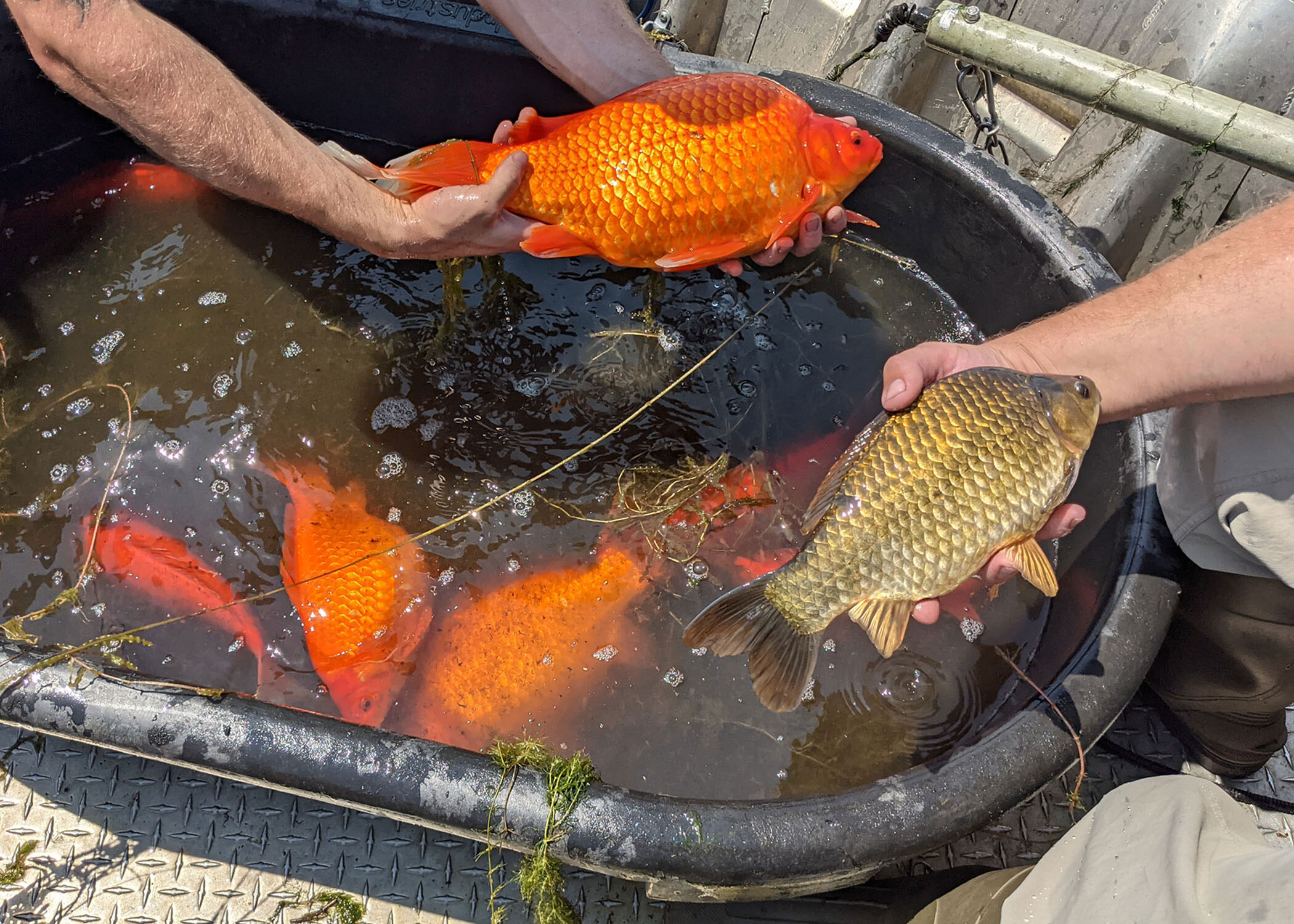 Invasive, football-size goldfish found in a Minnesota lake