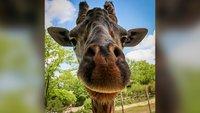 Cincinnati Zoo 'devastated' by the death of Kimba the giraffe