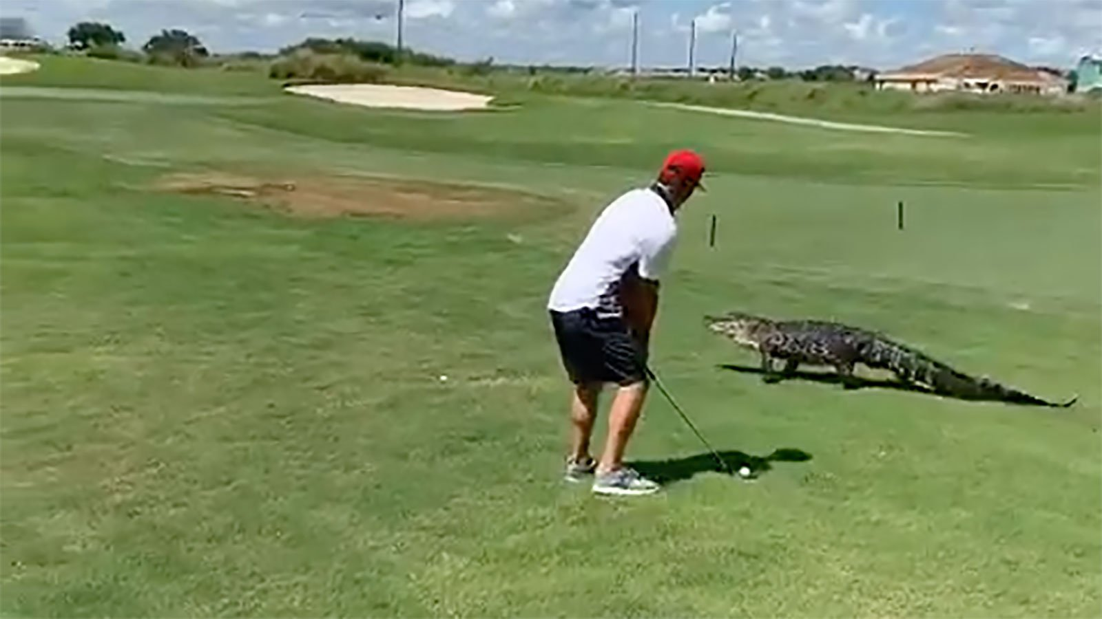 Florida golfer ignores scary alligator strolling next to him