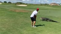 Florida golfer ignores scary alligator strolling next to him