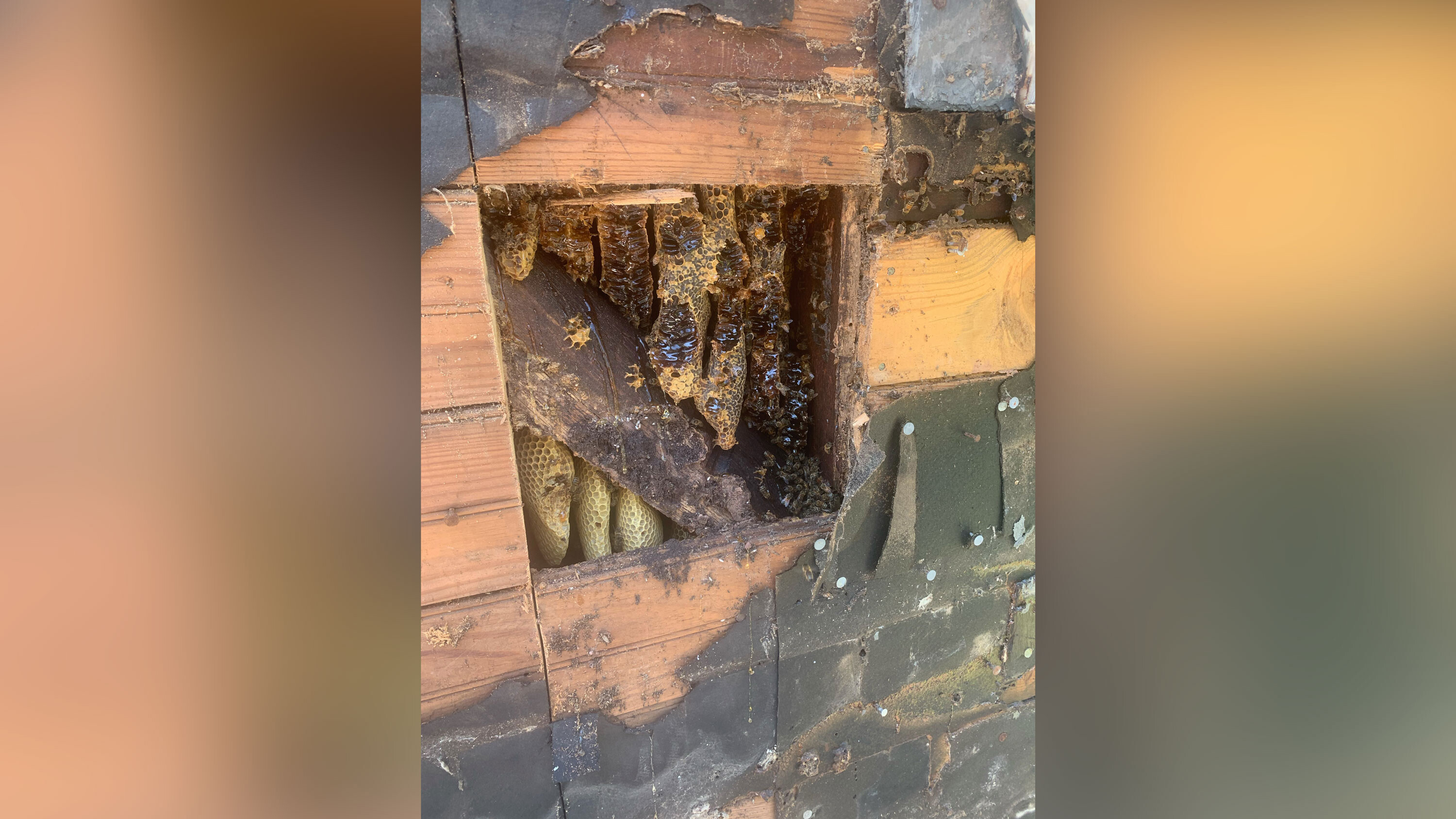 450,000 honeybees have been occupying the walls of this home for 35 years. They just got rehomed