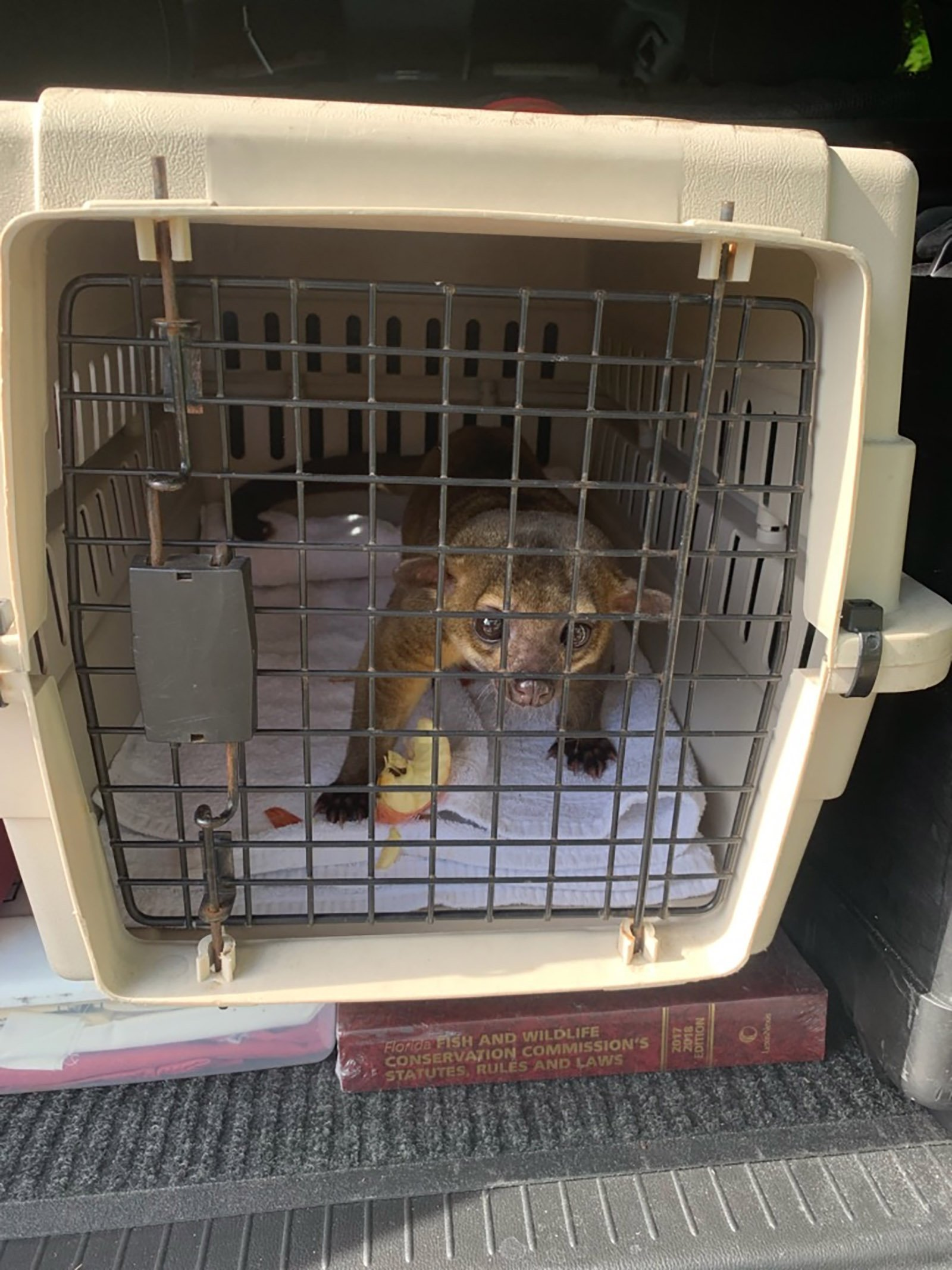 A tiny kinkajou sneaked into a Florida home and attacked a man
