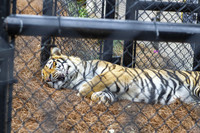 LSU puts up new fence to protect 'Mike the Tiger' from the coronavirus