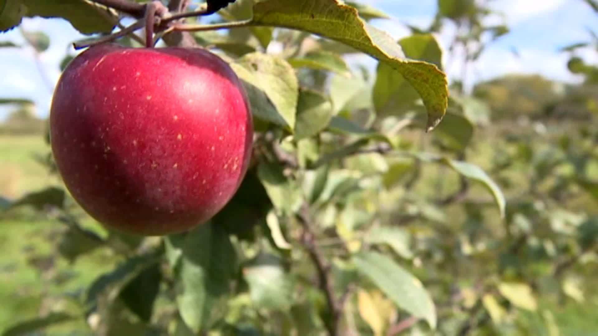 Thieves pick 7,000 pounds of apples off the trees in a Michigan orchard