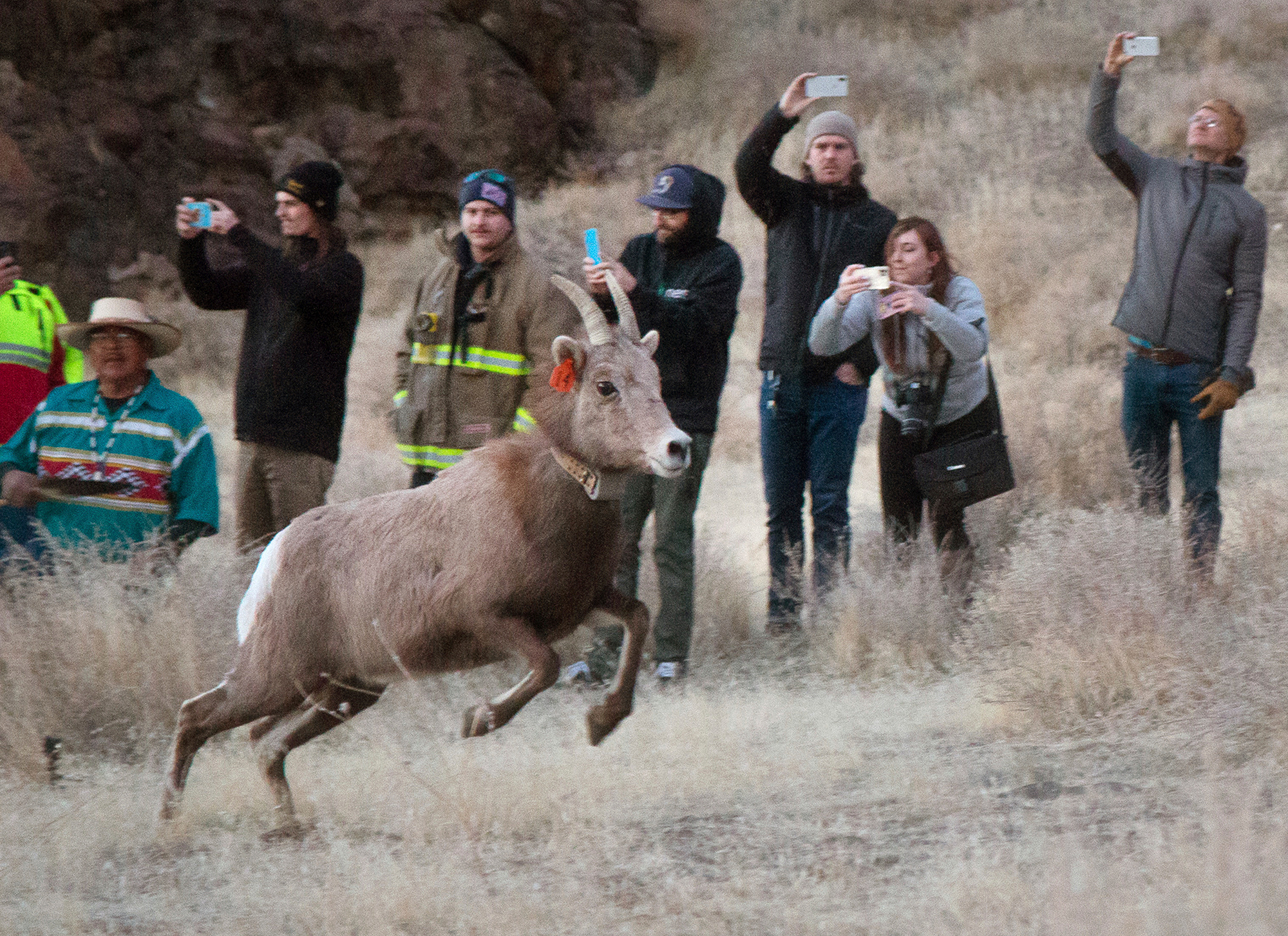 Wildlife officials released a group of bighorn sheep to land they haven't touched in 100 years