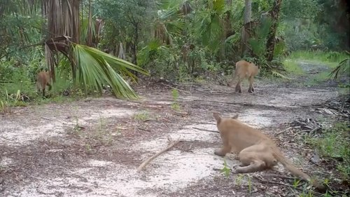 Image for Florida officials are investigating why panthers are seen stumbling and falling down