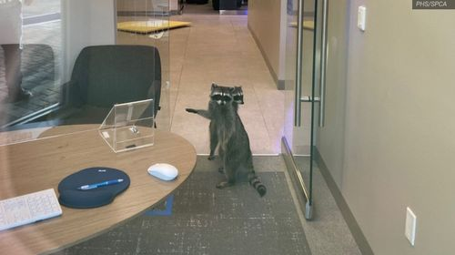 Image for How a pair of raccoons (probably) broke into a bank