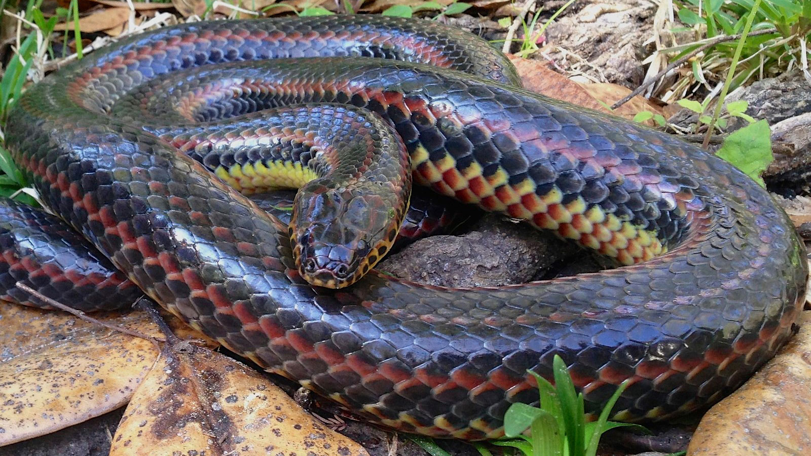 A rare rainbow snake was spotted in a Florida forest for the first time in 50 years. Don't worry, it's harmless