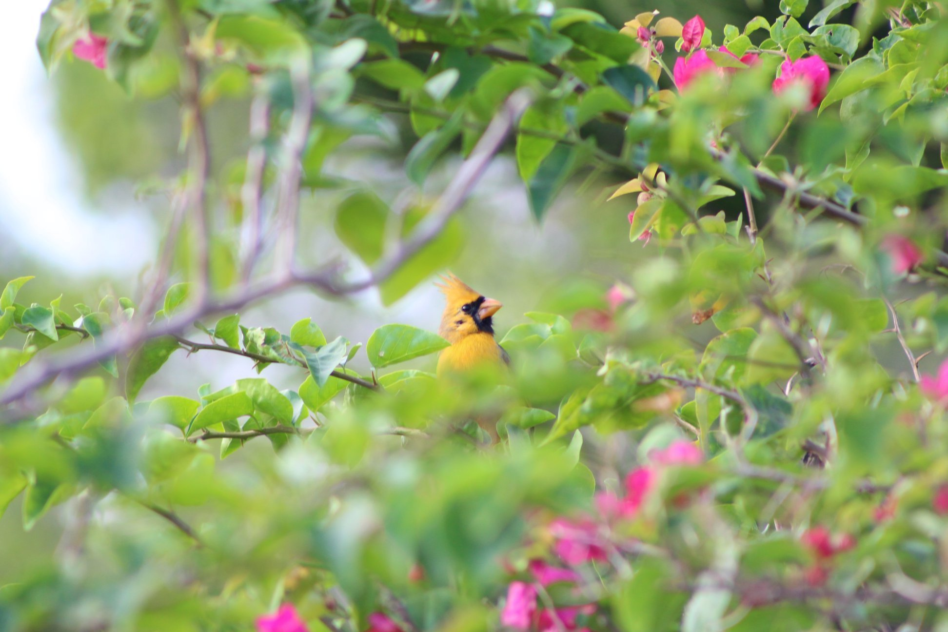 An incredibly rare yellow cardinal has been spotted in Florida. An expert says it's 'one in a million'