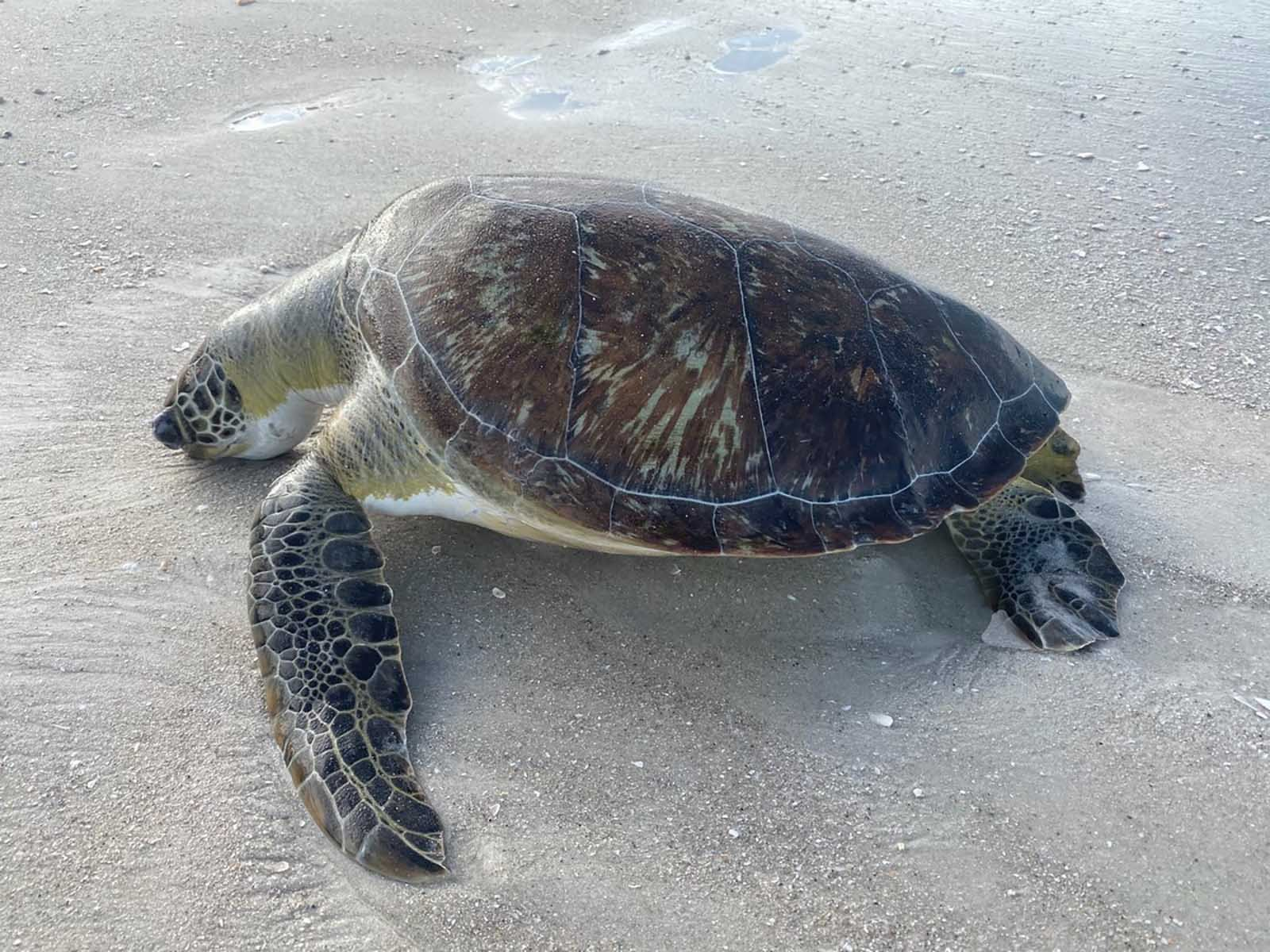 Red tide likely to blame for the highest number of sea turtle deaths a Florida county has ever recorded