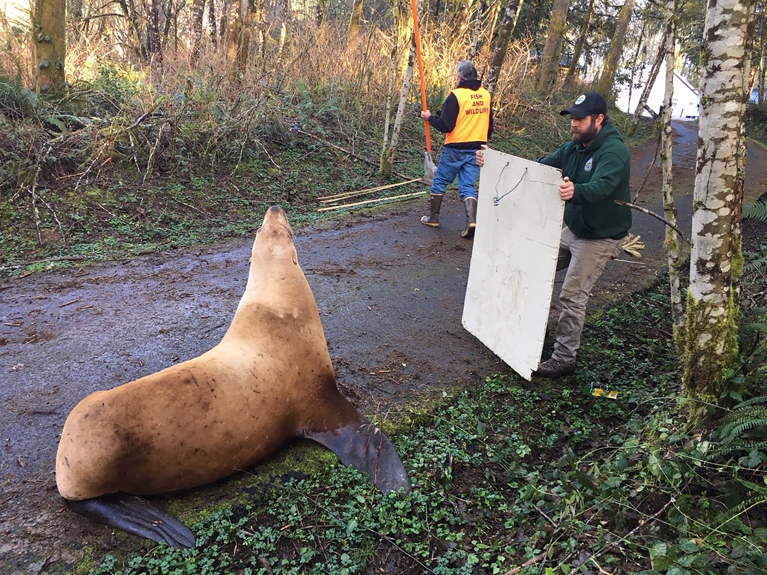 A 'wayward' sea lion found wandering miles from the water in Washington needed a little rescuing