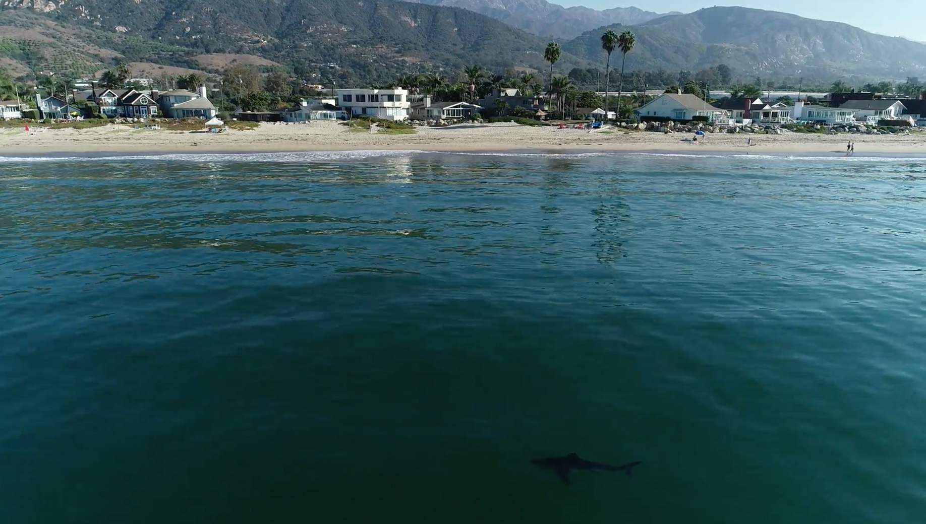 A California shark lab tagged a record number of sharks off the southern coast this year