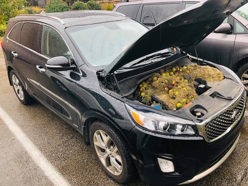 Huge stash of walnuts squirreled away under vehicle bonnet in US