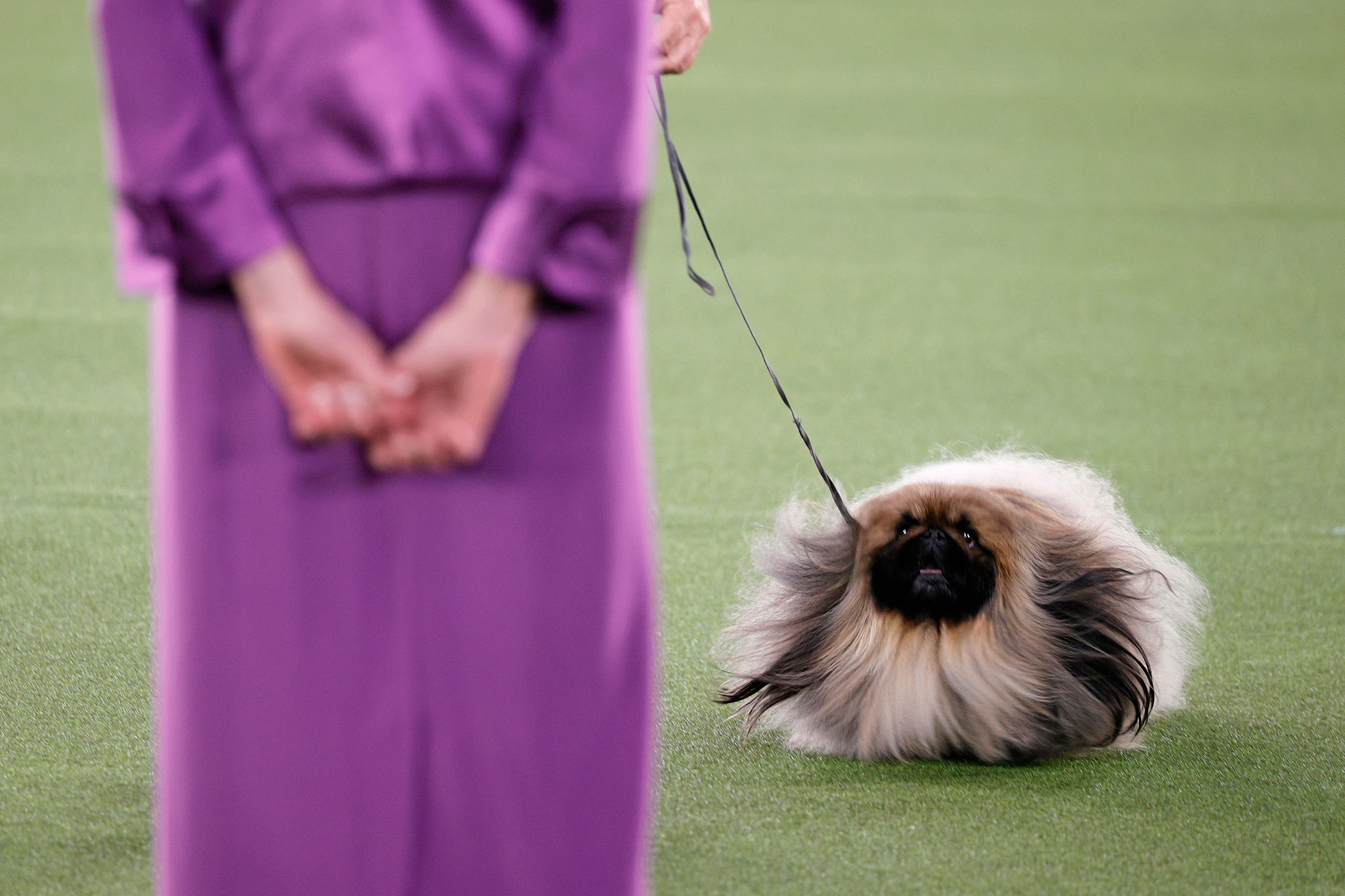 Wasabi the Pekingese wins Best in Show at the Westminster Dog Show