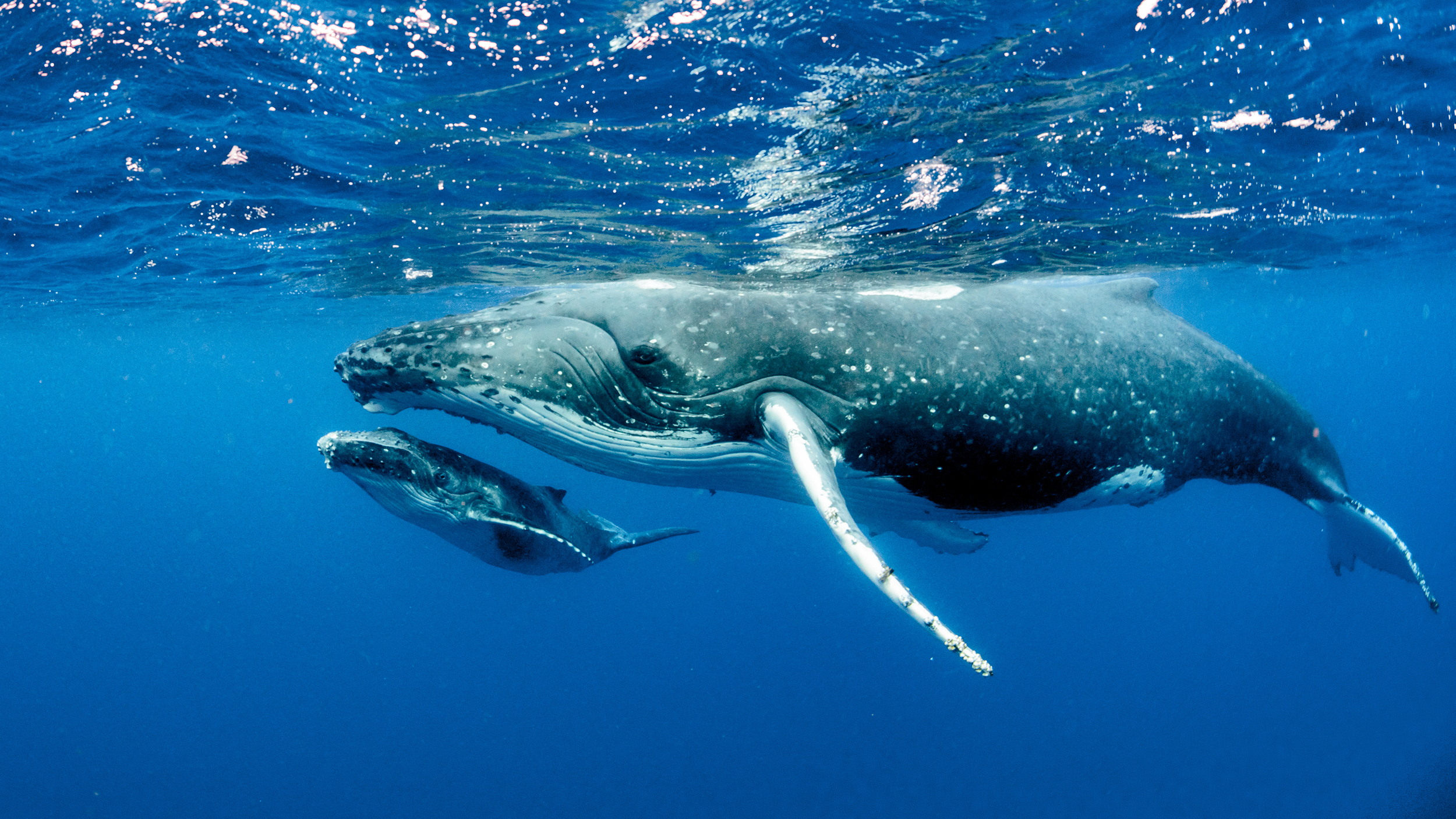 How do whales defy the odds of getting cancer? The answer is in their genes, new study says