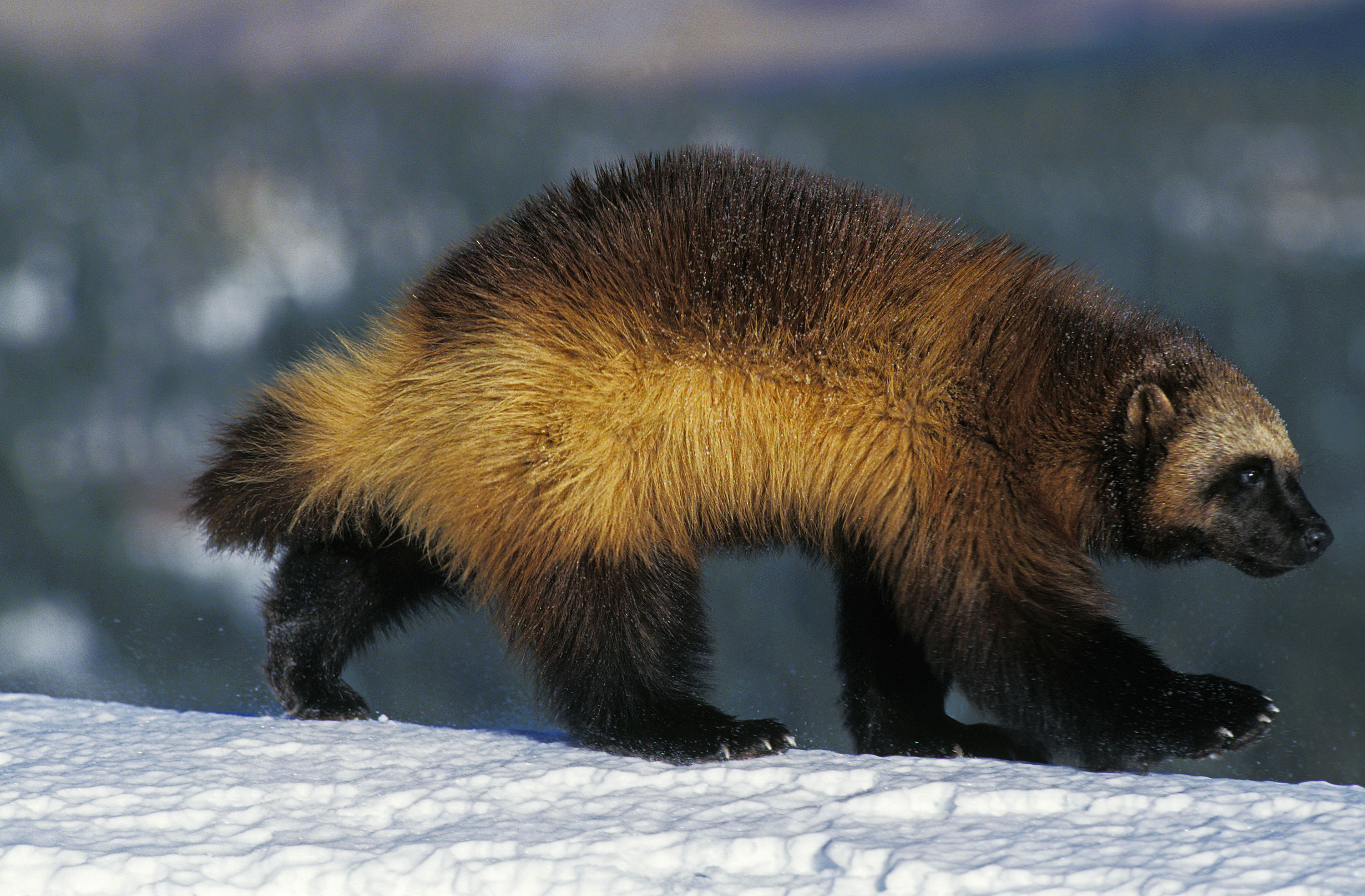 When a woman said she saw a wolverine on a Washington state beach, a wildlife official didn't believe her