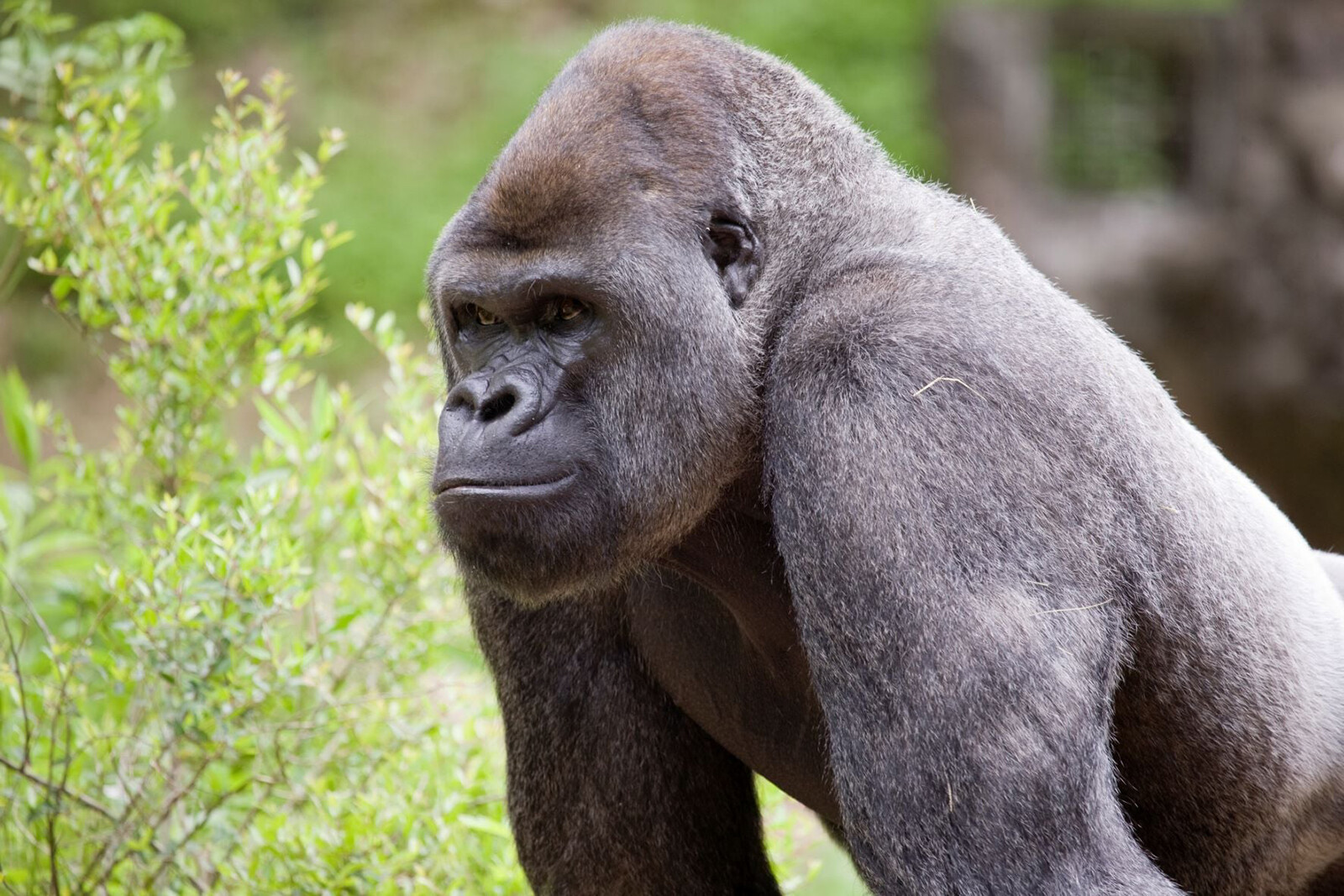 Gorillas at Zoo Atlanta being treated after initial testing reveals Covid-19 virus