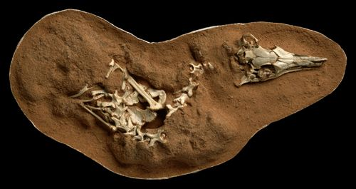 Image for This tiny dinosaur hunted in the dark and heard better than an owl