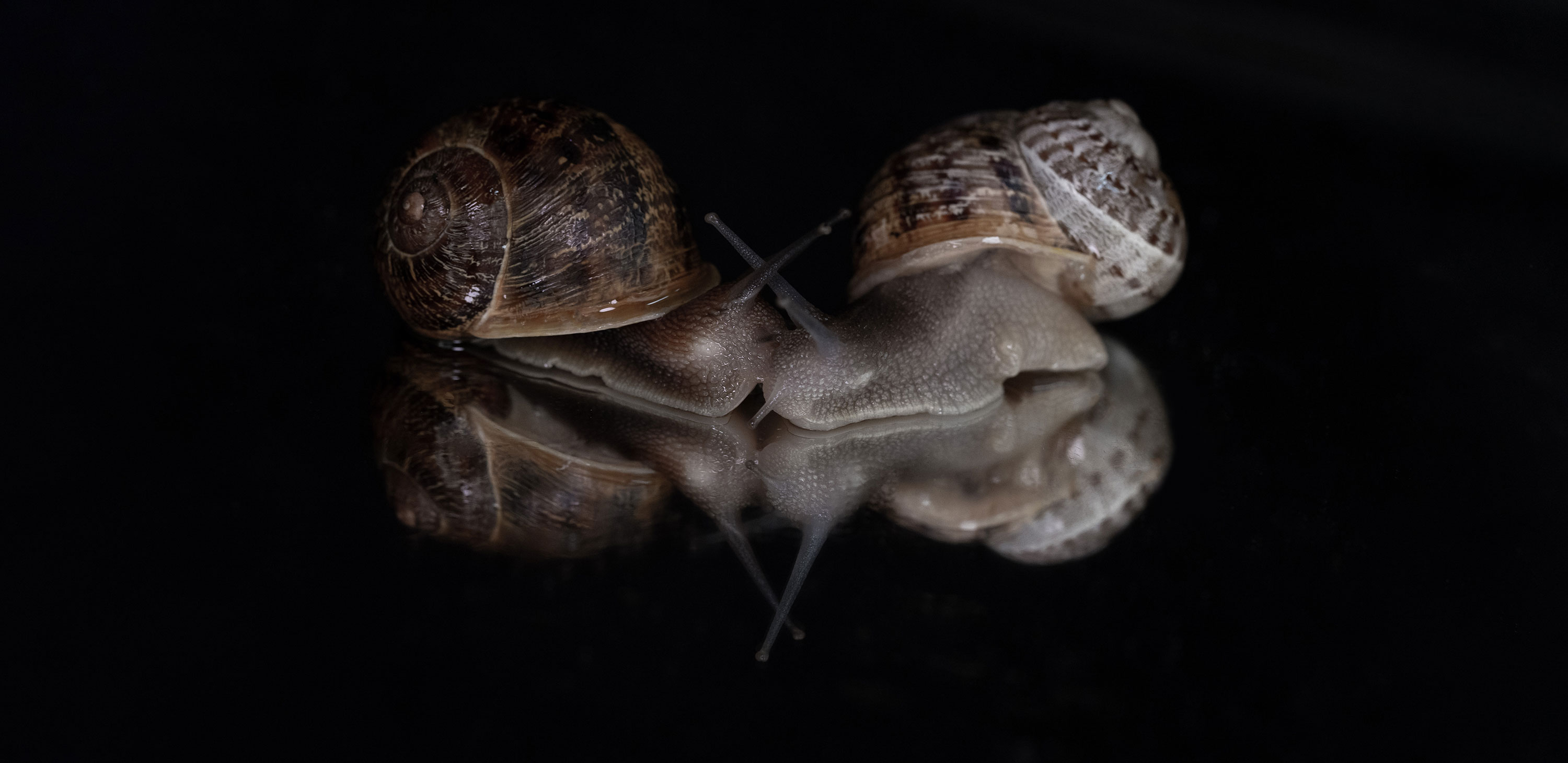 Two lefties make a right, if you're a rare garden snail