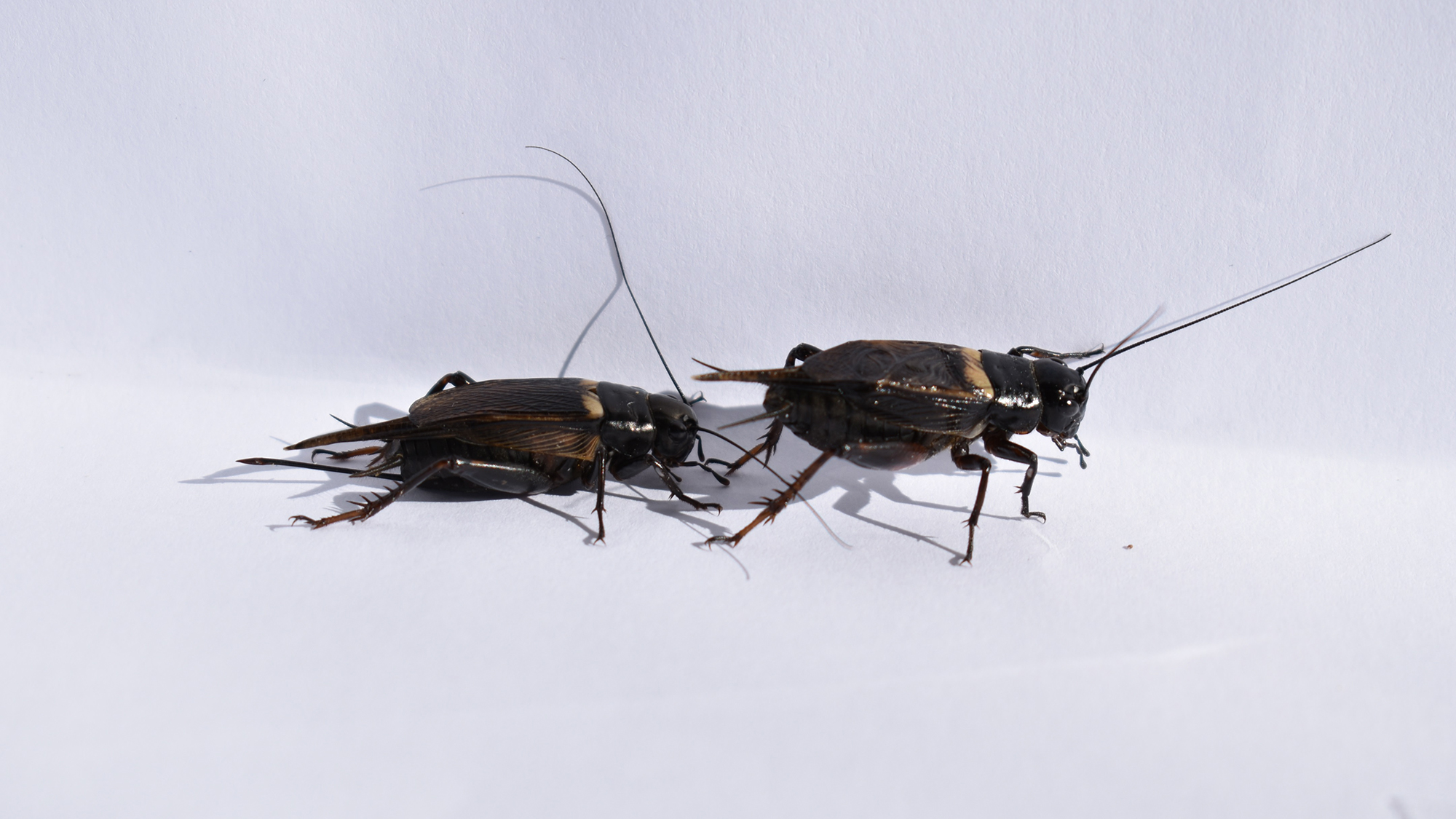 In the name of cricket sex, humans need to stop making noise
