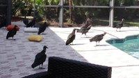 Swarms of black vultures have taken over a Florida community