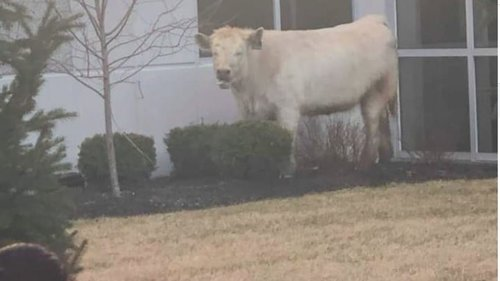 Image for Police chase cow near Chick-Fil-A