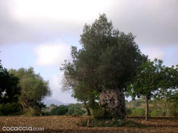 Mediterranean Olive Tree Under A clouded Sky