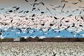Snow Geese Migration by Michael Elenko