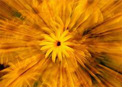 Daisy Explosion by Marie Sauter