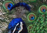 Peacock by Barbara Smith