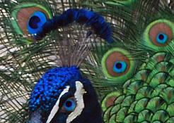 Peacock by Barbara Smith