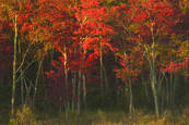 Maples by Darla J. Oathout