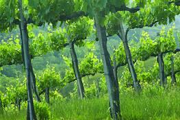 Vineyard by Darla J. Oathout