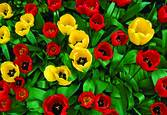 Tulips from Above. East Grinstead by Sally Reis Vogt
