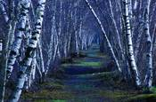 Bashakill Birches by Greg Miller