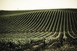 Vineyard Rows by Mark Waits