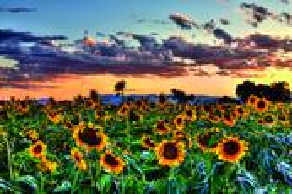 Sunflower Field by Susan Stone