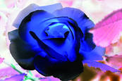 Blue Rose 1 by Teresa Saporiti
